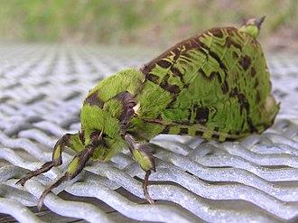 Aenetus - Puriri moth (Aenetus virescens)