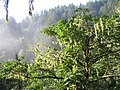 Purisima Creek Bigleaf Maple.jpg