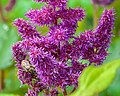 Purple Flower (19763418153).jpg