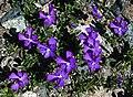 Purple flowers in Switzerland.jpg