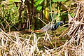 Purple gallinule (20080722070).jpg