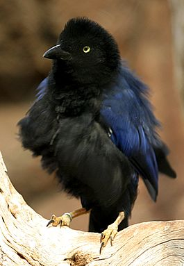 Purplish-backed Jay.jpg