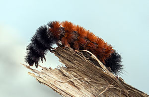 Pyrrharctia isabella - Caterpillar - Devonian Fossil Gorge - Iowa City - 2014-10-15 - image 1