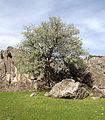 Pyrus elaeagrifolia - Yaban armudu 00.JPG