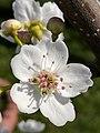 Pyrus pyrifolia (Raja) blossom9.jpg