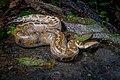 Python brongersmai, Brongersma's short-tailed python.jpg