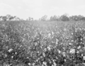 Queensland State Archives 1818 Cotton experiment plots Regional Experiment Station Ayr November 1955.png