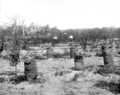 Queensland State Archives 2658 A crop of potatoes grown between the rows Pikedale January 1920.png