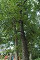 Quercus montana (23797302759).jpg