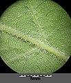 Quercus pubescens sl16.jpg