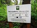 Quercus robur in Borowki (2).jpg