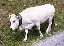 A white cow with a bell on her neck