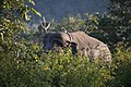 Radio collared wild elephant n Bandipur.jpg