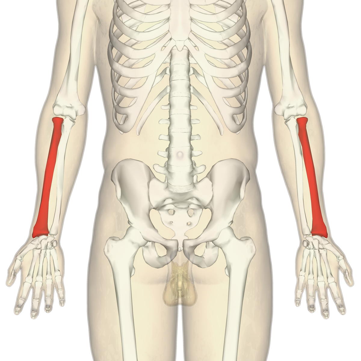 Radius (bone) - Wikipedia Ulna Bone
