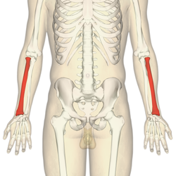 Radius (bone) - Wikipedia