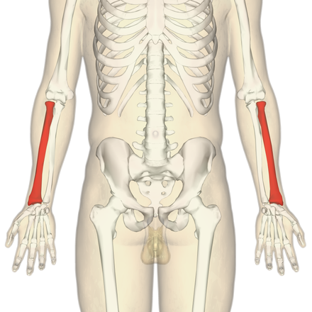 Radius (Anatomie) - Wikiwand