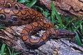 Rainbow Boa (Epicrates cenchria) juvenile (13908829799).jpg