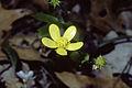 Ranunculus hispidus NRCS-1.jpg