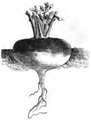 Rave d'Auvergne tardive Vilmorin-Andrieux 1883.png