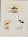 Recurvirostra americana - 1700-1880 - Print - Iconographia Zoologica - Special Collections University of Amsterdam - UBA01 IZ17400171.tif