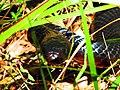 Red-Bellied Black Snake (Pseudechis porphyriacus) (8256561939).jpg