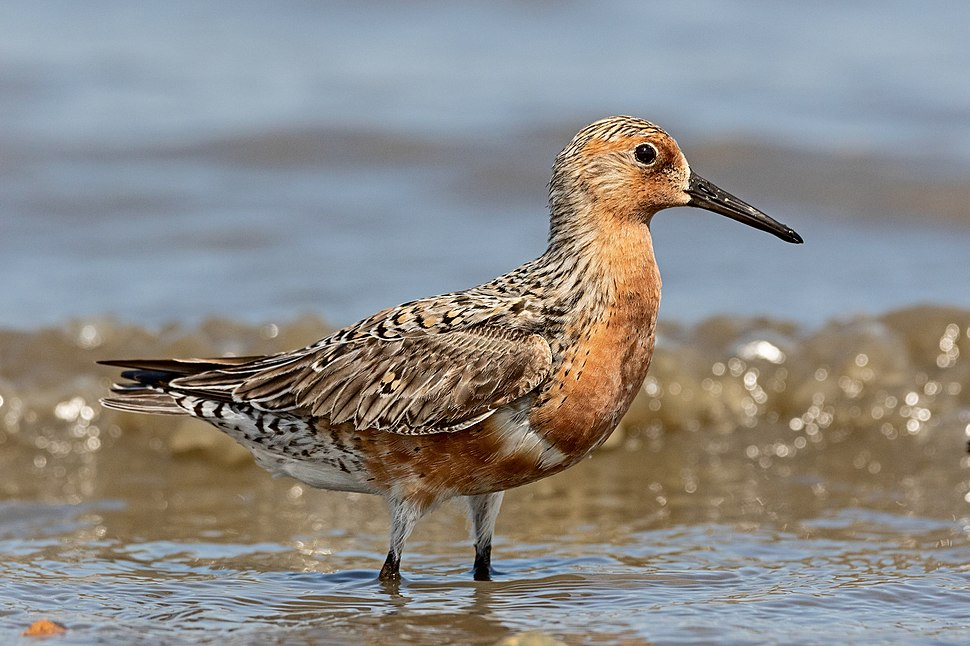 Red-Knot-for-Wiki