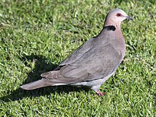 Red-eyed Dove RWD.jpg