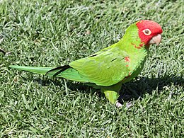 Red-masked Conure RWD.jpg