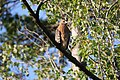 Red-shouldered Hawk (Buteo lineatus lineatus) (5055197777).jpg