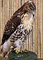 Red-tailed hawk arp.jpg