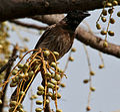 Red-vented Bulbul (Pycnonotus cafer) on Lannea coromandelica fruits W IMG 7720.jpg