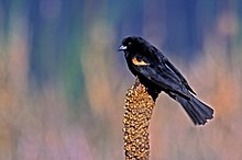 Red-winged Blackbird.jpg