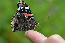 Red Admiral (14383619791).jpg