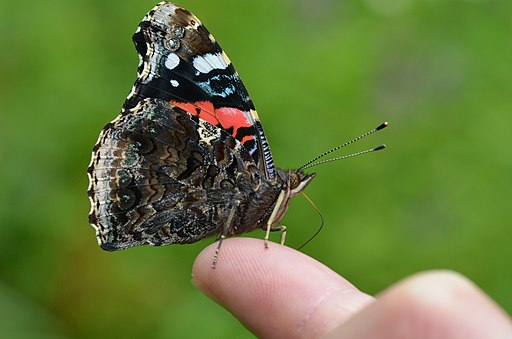 Red Admiral (14383619791)
