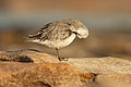 Red Knot 2 - Boat Harbour.jpg
