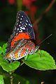 Red Lacewing (Cethosia biblis perakana) (8740666487).jpg