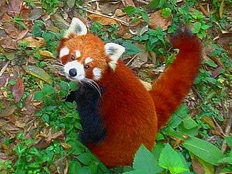Padmaja Naidu Himalayan Zoological Park - Red panda in the zoo
