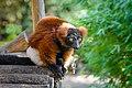 Red Ruffed Lemur (50350586447).jpg
