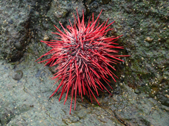 Red Sea Urchin by Lawson Harbour.png