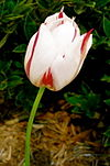 Red and White Tulip.jpg