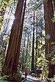 Redwoods next to trailMG 2656.jpg