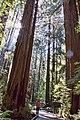 Redwoods next to trailMG 2656.jpg