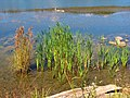 Reeds (10078813423).jpg