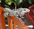 Resting Iguana (4391406729).jpg