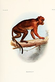Central African red colobus Common name for several monkey species