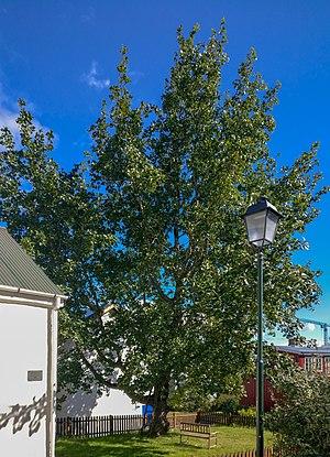 Populus balsamifera - Image: Reykjavík tree of the year 2016