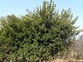 Rhamnus alaternus, habitus, Meiringskloof, a.jpg