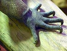Artigli di un'iguana