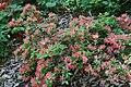 Rhododendron Aladdin 2zz.jpg