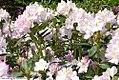 Rhododendron Album Elegans 1zz.jpg
